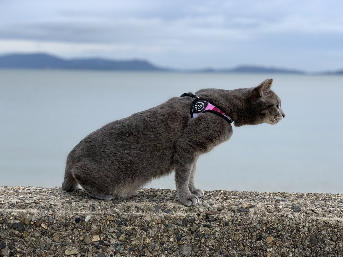 エマちゃん  相変わらずの超ビビリ🐈  おかげで俺の体は爪の跡だらけw  #サバトラ #猫 #ねこ #初砂浜 #レヴォーグでドライブ https://t.co/hKkpjxRkox