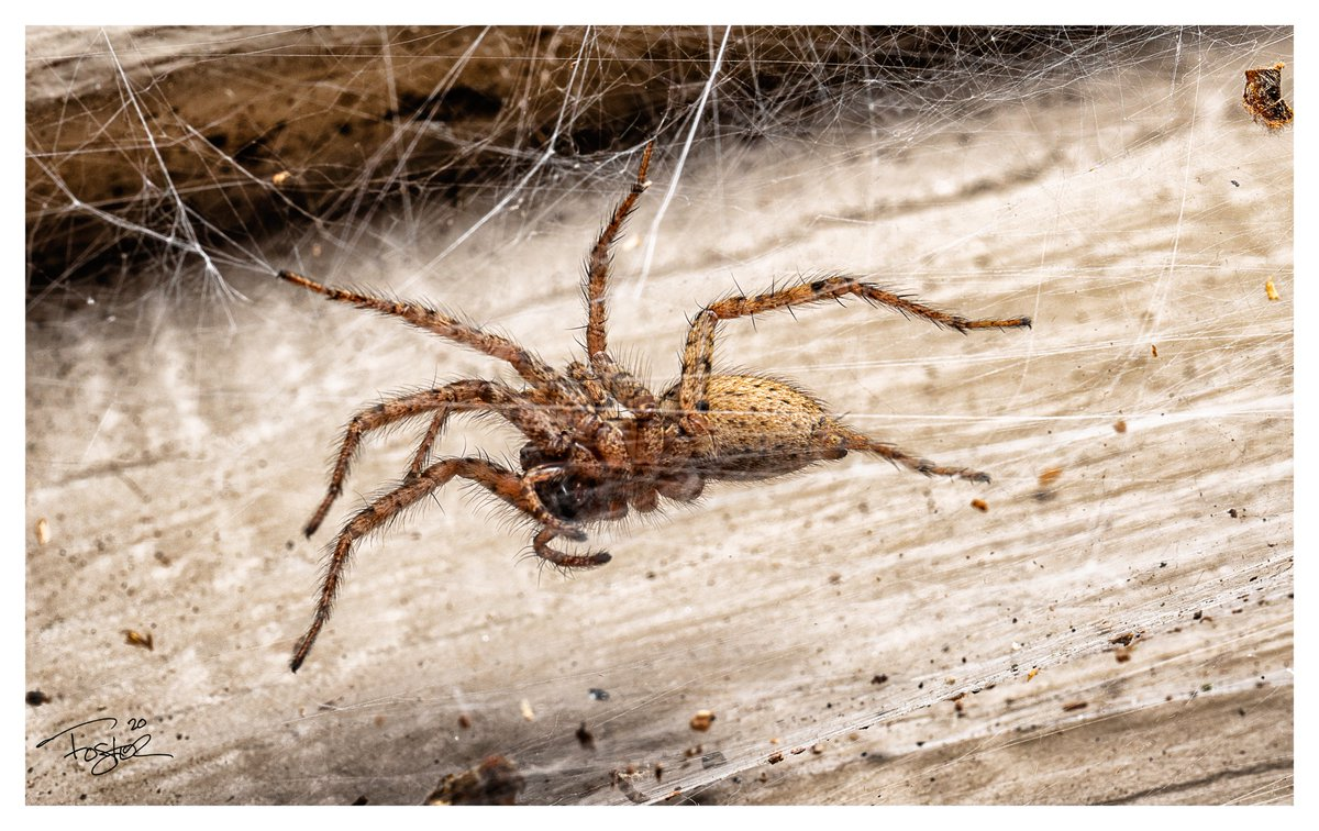 Some spiders from tonight. #Godox #Macro #macrophotography #sonyA7ii #nature #NaturePhotography #Flowers #photography #wildlifephotography https://t.co/eMXczUqPSs