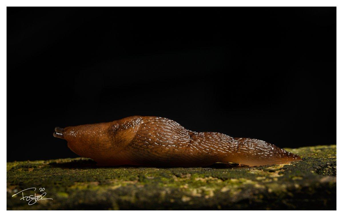 Slug. #Godox #Macro #macrophotography #sonyA7ii #nature #NaturePhotography #Flowers #photography #wildlifephotography https://t.co/beCTQKHGau