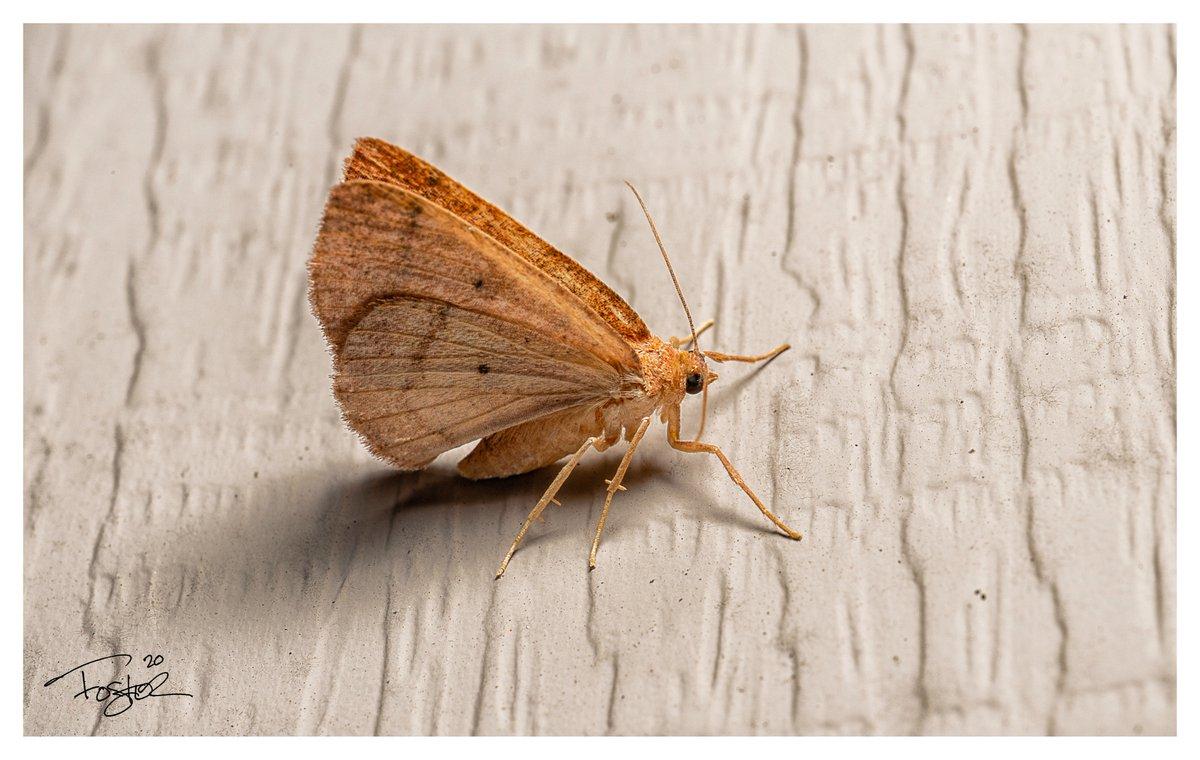 Tiny moth. #Godox #Macro #macrophotography #sonyA7ii #nature #NaturePhotography #Flowers #photography #wildlifephotography https://t.co/ABs2xDDCSc