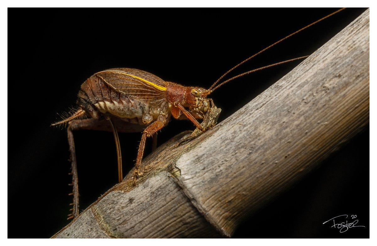 Cricket. #Godox #Macro #macrophotography #sonyA7ii #nature #NaturePhotography #Flowers #photography #wildlifephotography https://t.co/krWbJYy4EK