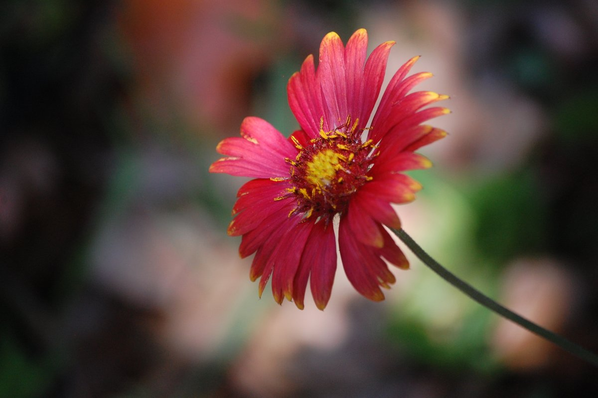 Just a #Gaillardia, took this picture in 2015.  Goodnight Twitter!  #StayHappy #Flower #Flowers #Nikon #NikonD40 #Nature #NaturePhotography #SoCal #RedFlower https://t.co/38zVReByDZ