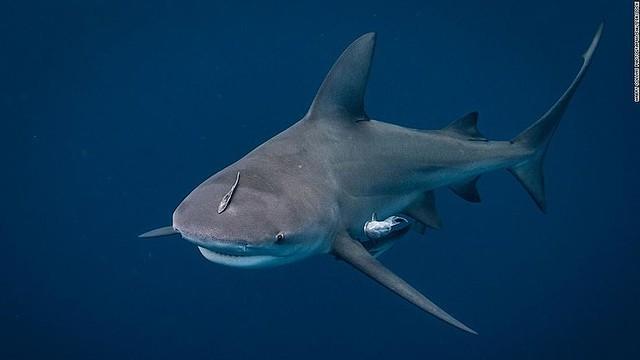 【海へ飛び込み】妊娠中の妻がサメに襲われる夫を救助 米フロリダ州夫が飛び込んだほぼ直後、サメがぶつかってきて肩に噛み付いたという。妻は「ためらいもなく海へ飛び込んでいた」とのこと。
