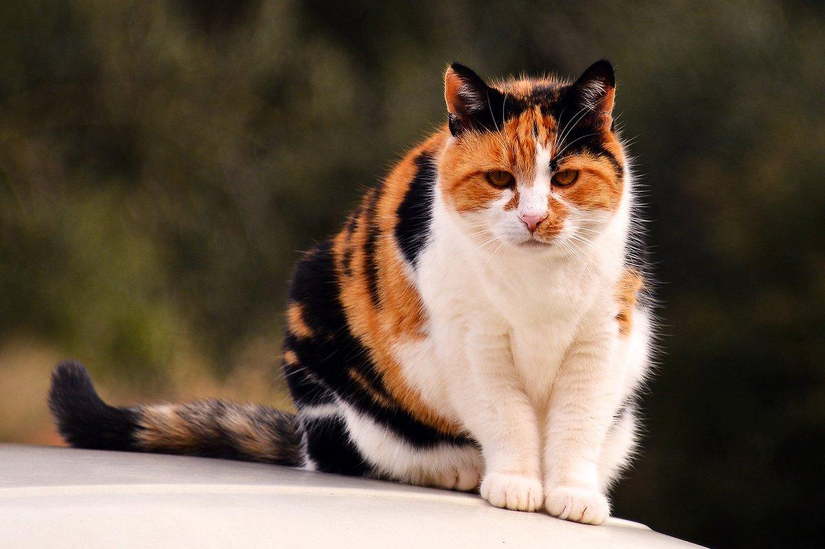 Sabías que si ves un gato de 3 colores, en realidad estás viendo una gata?. Te explico por qué. Abro hilo: 👇👇👇 https://t.co/KbDhzYi7LA