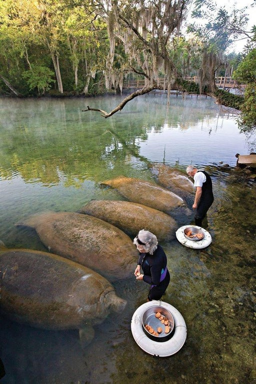 Replying to @AventuraObscura: Manatees being feed sweet potatoes, while looking like sweet potatoes