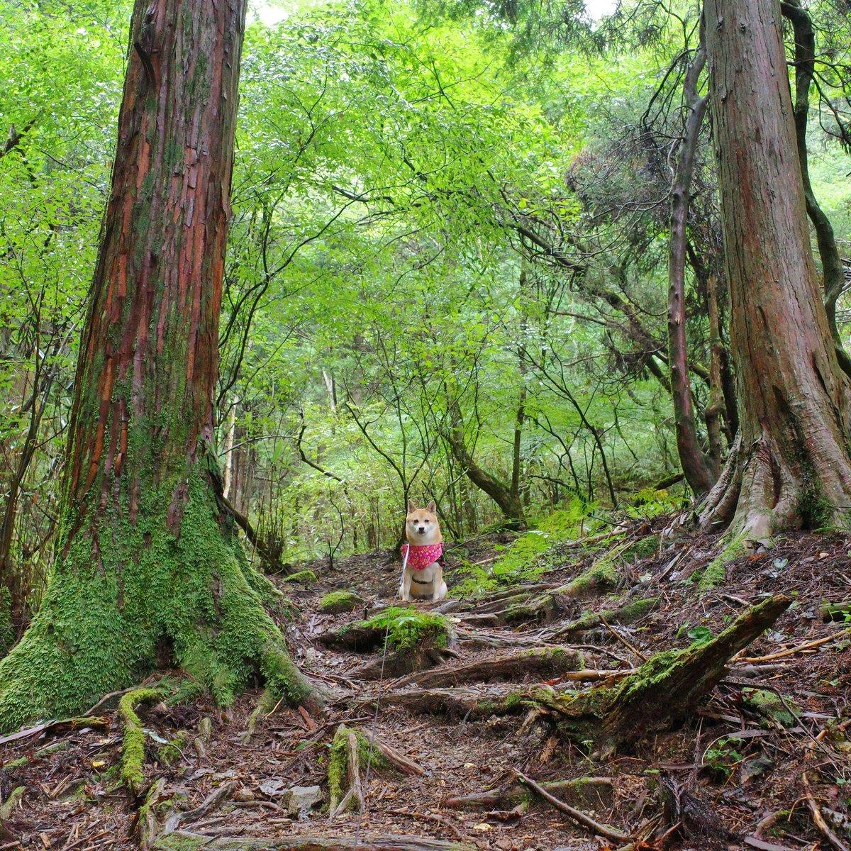 さくらと金剛山 2020年09月27日 シルバーコース  雨あがりの森の中💚 木立や地面がしっとりしたね🌲 色も鮮やかになったね🐕🌸  #柴犬 #金剛山 #山登り https://t.co/LnSIu6Silz https://t.co/jU1OrmaEgv