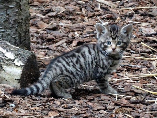 GOOD NEWS! Four rare Scottish wildcat kittens born in Highland park shropshirestar.com/news/viral-new…