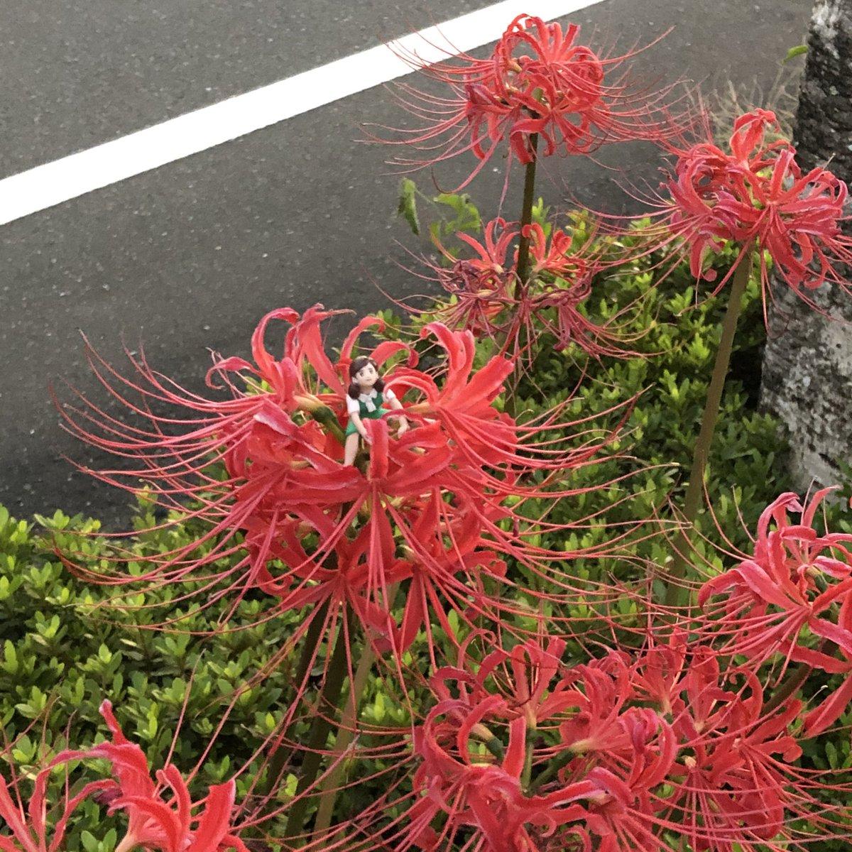 実家の前の道路の植え込みの中に咲いている彼岸花 今年も咲いていた! #彼岸花 #曼珠沙華 #フチ子 #fuchiko https://t.co/TbECur3892