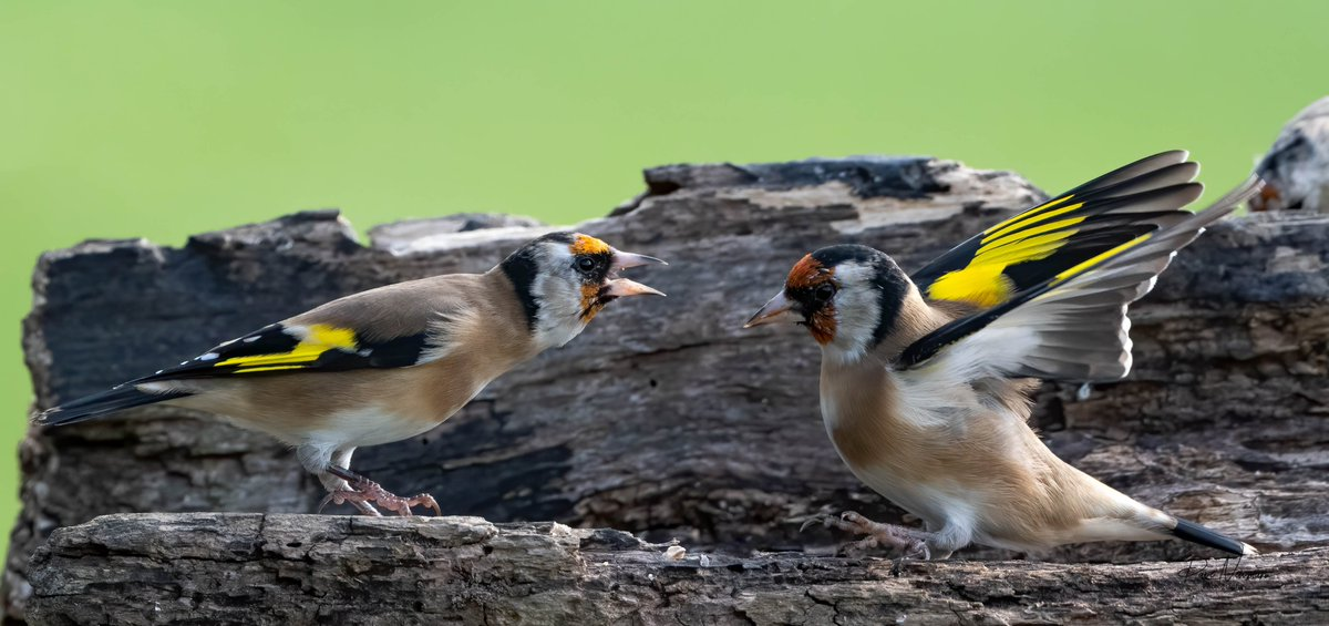 #gold #finch #fighting #female #attitude #WINNER  #lincolnshire #sunshine #NaturePhotography #wildlifephotography #nikonphotography #lincsconnect #bbclooknorth #TwitterNatureCommunity #wildlife #britishwildlife #britishnature #lincsgrammers https://t.co/Z7gU4ptUPh