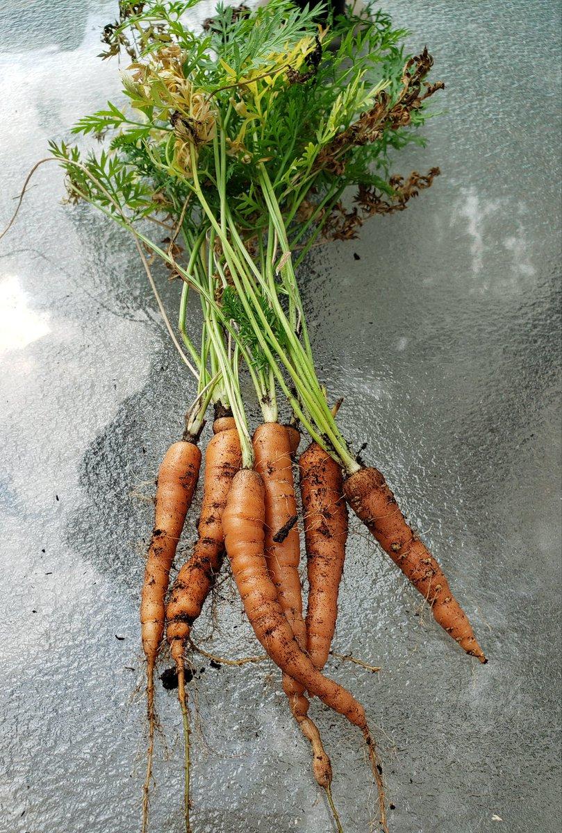 Last of my carrot crop! #garden @BrashleyDebbie @lynda3035 @BloomNight2 @Marina935home @AnaGascaa @Axolotl_2019 @FColobus @Lpowell588Lady @cobalttash @LindsayPH @jypseywheel @1gingerbeauty #carrots https://t.co/CXUoZvBAbb