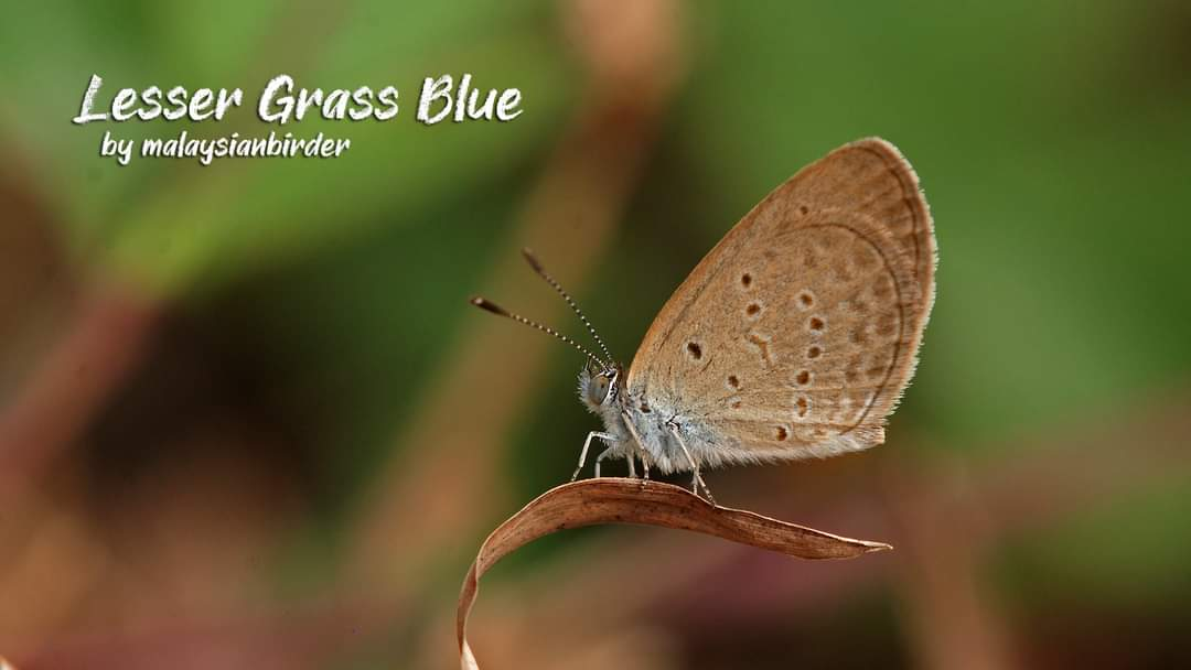 Tiny and fast. That's Lesser Grass Blue!  #butterfly #butterflies #lepidoptera #malaysianbirder #nature2pixel https://t.co/dV7LbFNAyy