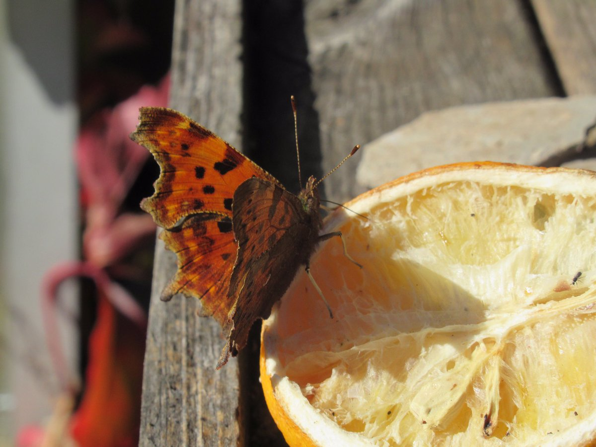 Comma enjoying some fermenting orange in the sunshine. Lazing on a Sunny afternoon! #butterfly #comma #autumnwatch https://t.co/phNa0uUveU