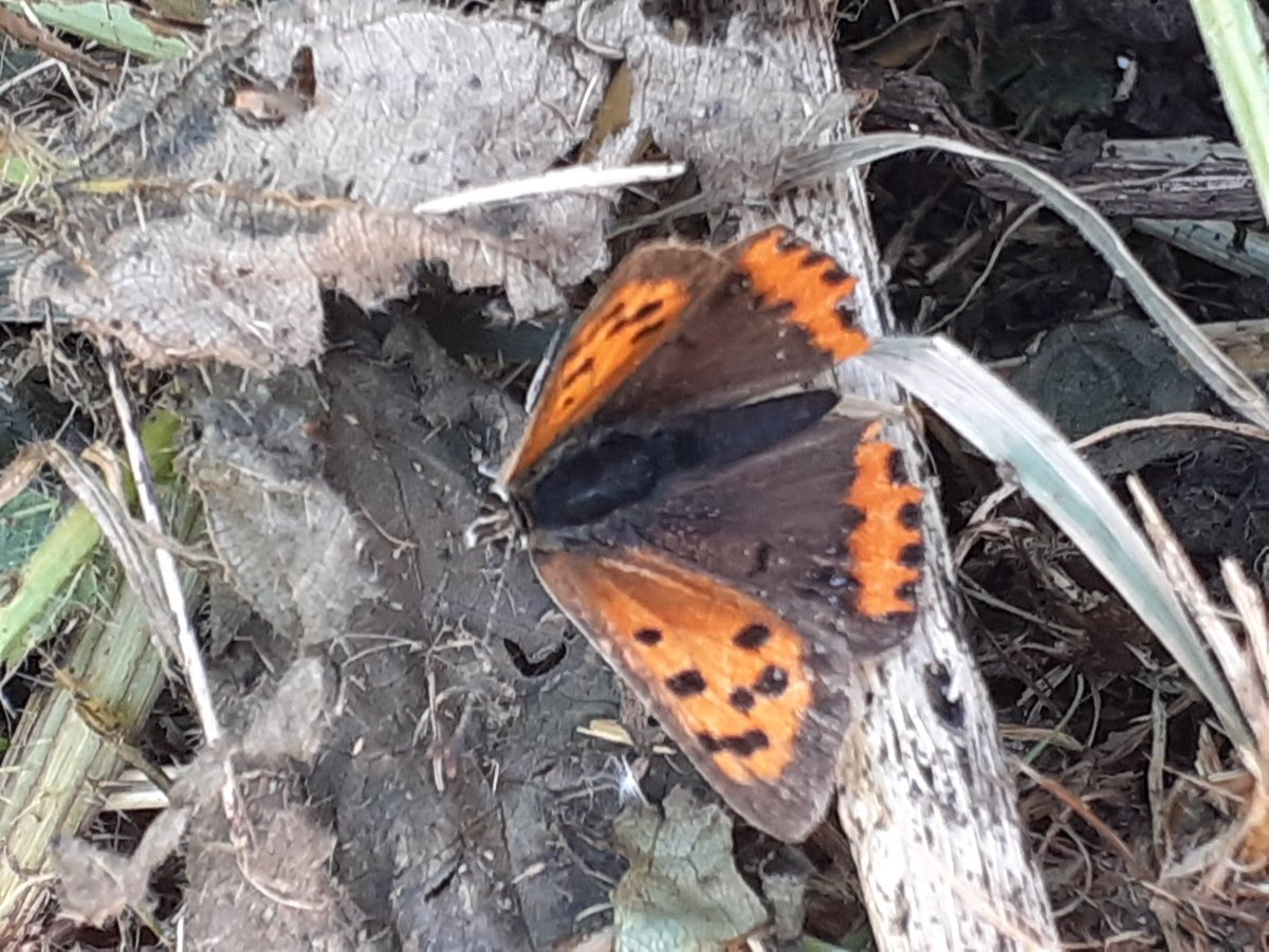 Patch gold at Little Aston SWT today with Short-eared Owl (thanks @Stephen06880374 for the find). Also 2 Grey Partridge, 4 (poss 5) Stonechat, site tick with Siskin & steady passage of Skylark + Meadow Pipit. 6 sp of butterfly stillon the wing incl Small Copper @Staffsbirdnews https://t.co/GbyeBp2q3t