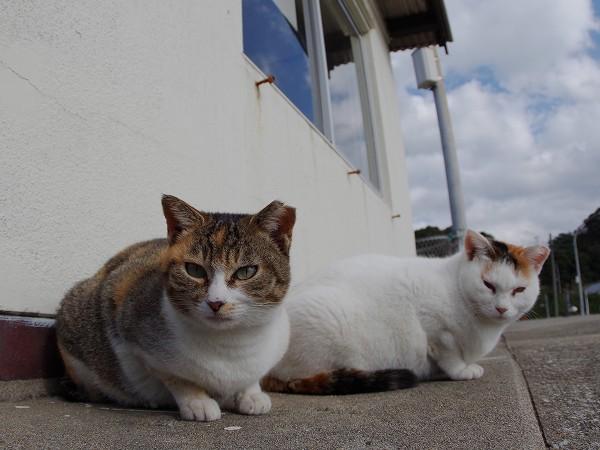 よく見ると二匹とも三毛猫です。キジ三毛さんと白三毛さん。いつも一緒にいるのかな。https://t.co/MgUMK73Bi8 https://t.co/WYJoCX7ZJV #猫 #ねこ #野良猫 #地域猫 #にゃんこ #三毛猫 https://t.co/cMKkJWvauZ