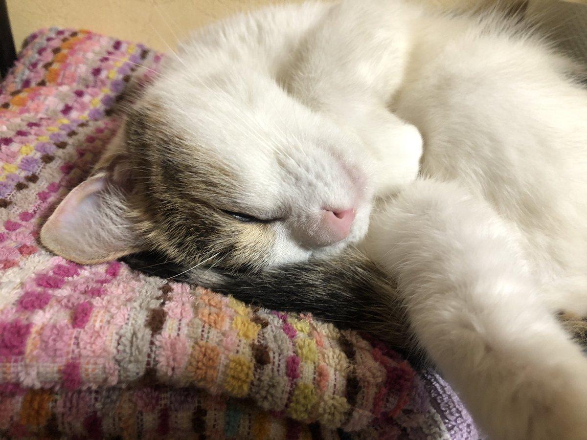 爆睡しました(( _ _ ))..zzzZZ  #アメリカンカール #ペルシャ猫 #americancurl  #三毛猫 #cats #ねこ #子猫 #猫好き  #perciancat https://t.co/i0PqRoDHCV
