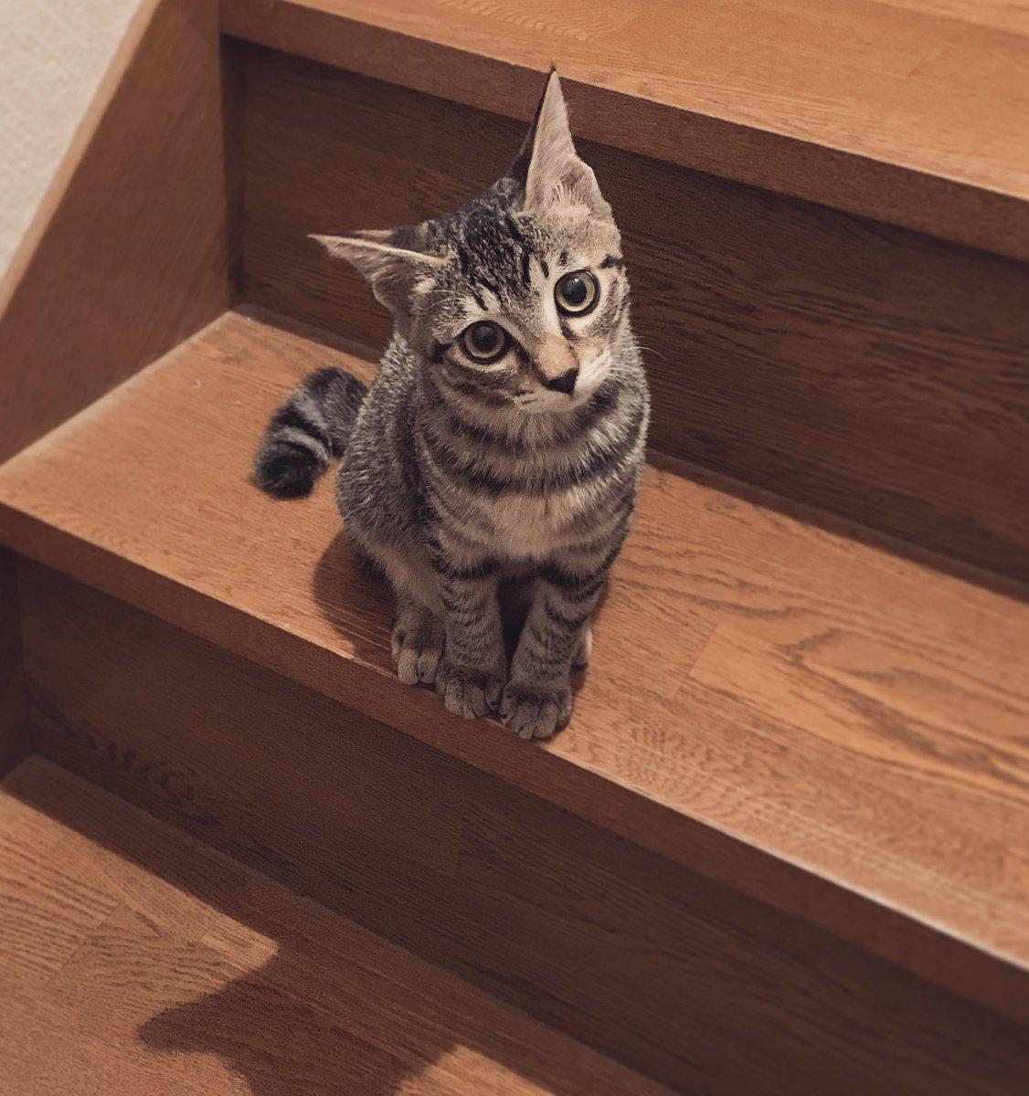 階段は一気に登る派のねこ、人間が途中で止まると「なんでこないの?」って顔で戻ってくるのかわいい