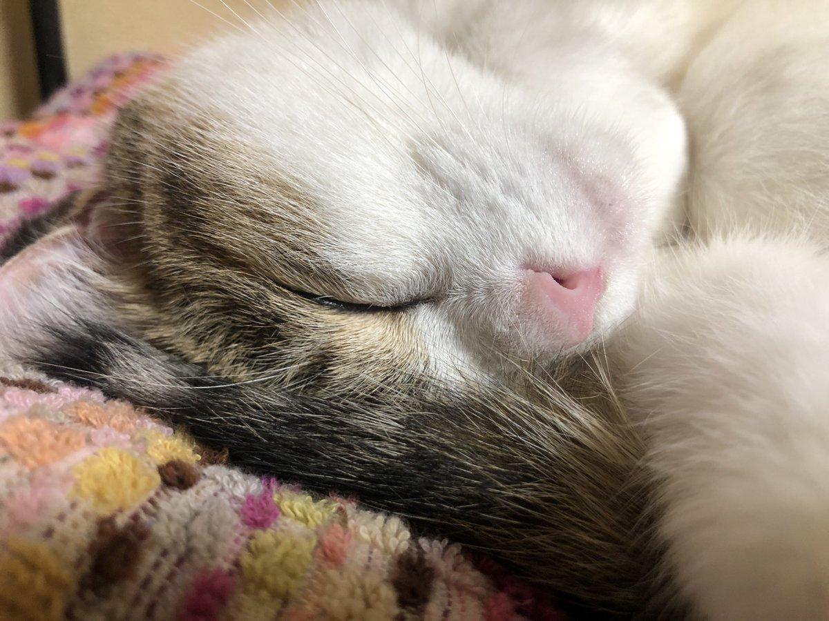 突然目を覚ました👁👁  📸ガッツリ両手で掴んで 離してくれません(⌒-⌒; )  #アメリカンカール #ペルシャ猫 #americancurl  #三毛猫 #cats #ねこ #子猫 #猫好き  #perciancat https://t.co/YAXNkptdnd