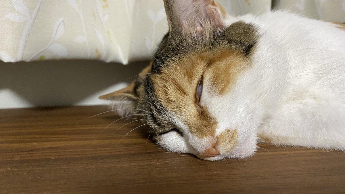 実は怖い顔してたんですね、ちくわさん。  #猫 #保護猫 #三毛猫 #ちくわさん https://t.co/XkZmI7qrq3