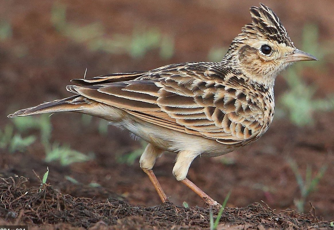 Right Twitter. I'm looking for the answer to a question: is there any evidence that female skylarks sing, or is it just the males?   #birdsong #birds #birdwatching #skylark #skylarks @femalebirdsong #scitwitter @ThatVetSean #nature #wildlife @EbonyEscalona @Naomi_D_Harvey https://t.co/Z9Ok0LjceH