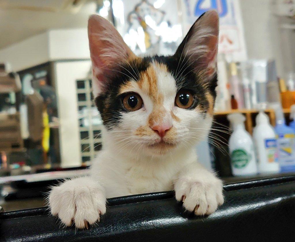今日女友達と話していて、「やっぱ好きな人褒めれないヤツはダメだわ」って言われたので改心しようと思いましたマル 褒めてる方だと思うんだけどなァ…🤔  あとあざと可愛いうちのみけみてください。  #あざとかわいい #三毛猫 #猫のいる暮らし https://t.co/KVnI1w3qy8
