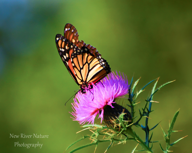 """Life becomes easier and more beautiful when we can see the good in other people."" ― Roy T. Bennett #quote -  https://t.co/mcZZ3SyG7n ~ #MonarchButterfly #NewRiverNature ~ https://t.co/9feC1oWjv5 https://t.co/PjtAum6CVp"