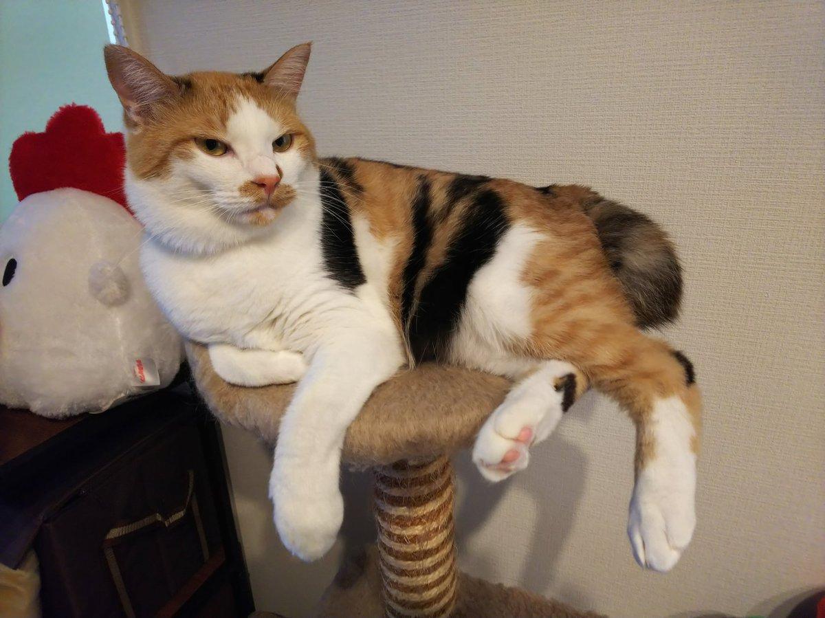 おやすみなさい~😪💤💤   #猫 #ネコ #ねこ  #三毛猫 #保護猫 #鍵しっぽ https://t.co/zgSf06QHkX
