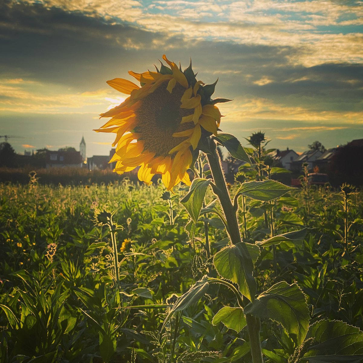 Autumnal sunflower 🌻 #SUNFLOWER #bavaria #canonphotography #lovinglife #Autumn #sunset https://t.co/iUWfQBrZIp
