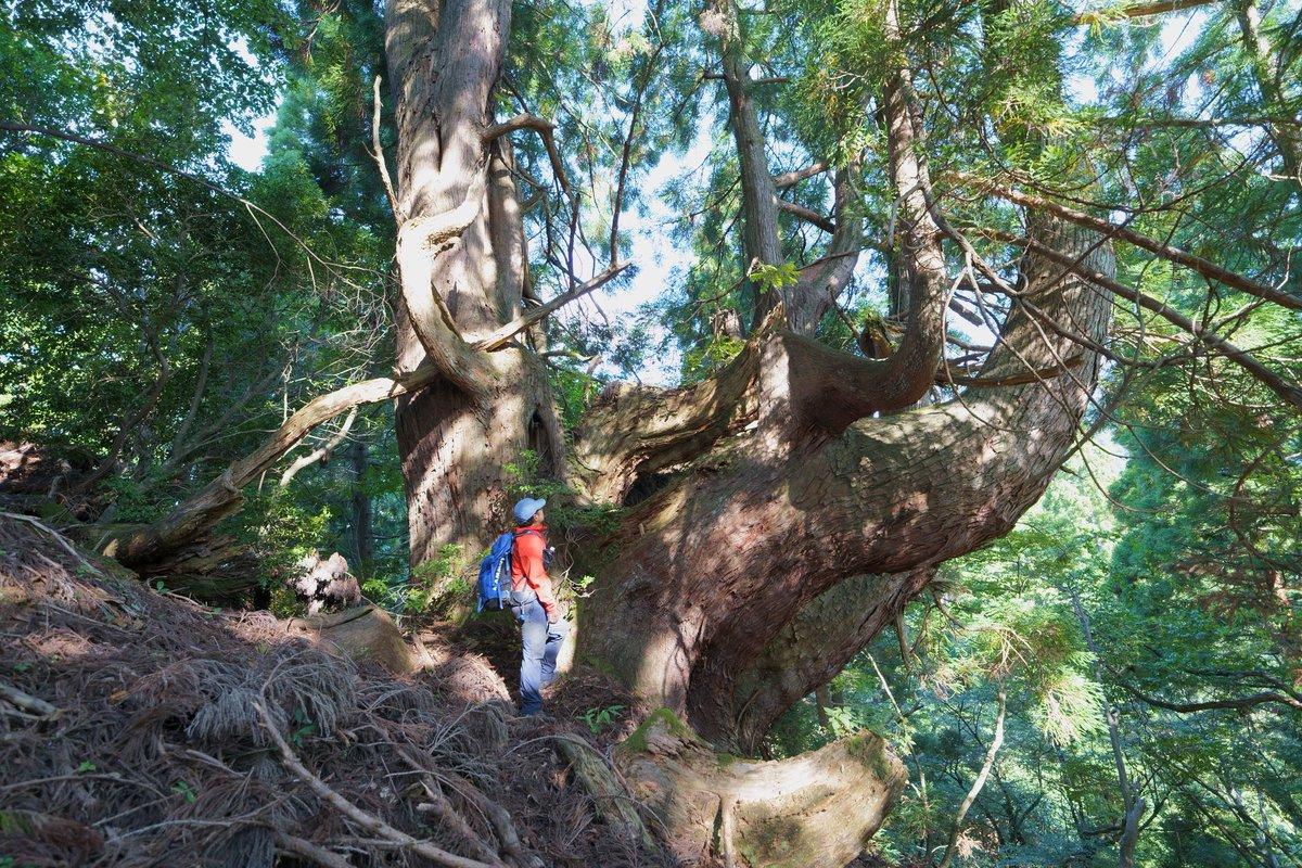 片波伏条台杉  京都北山の巨樹は凄いです。  #登山 #山登り #トレッキング #ハイキング #景色 #風景 #巨樹 #巨木 #大木 https://t.co/96eSx9Hj5y