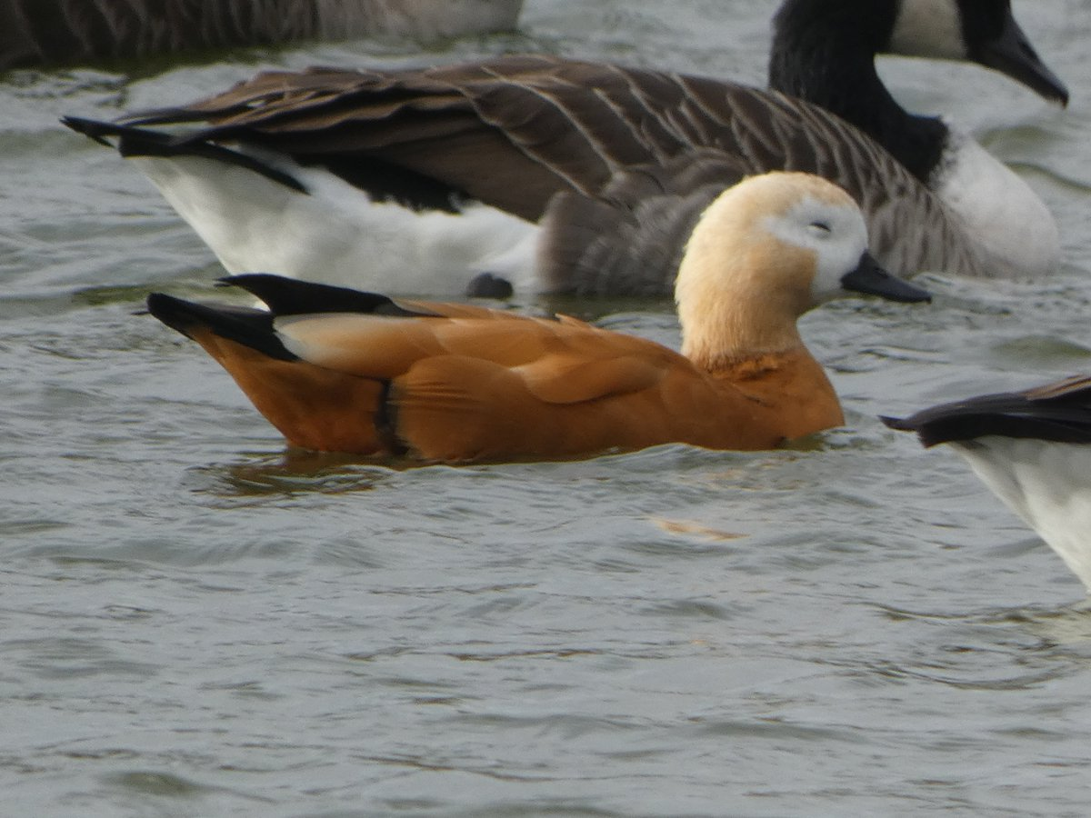 Trying to get a bit of shut eye in a flock of Canada Geese cannot be easy. This Ruddy Shelduck is giving it a good go at though. 💤😴😂 @NatureUK #northantsbirds @NorthantsBTO #Ravensthorpe https://t.co/iexTAzNKNB