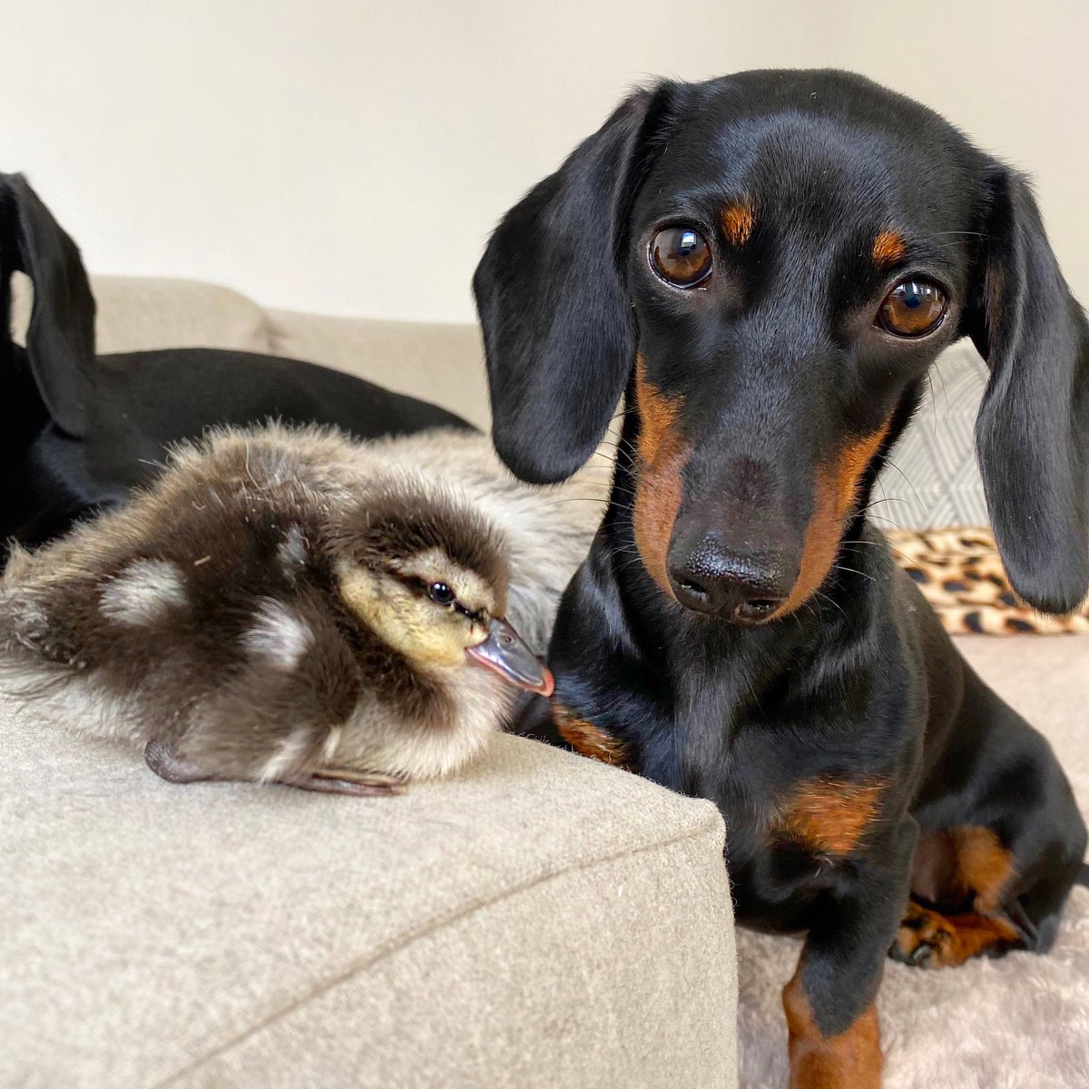 Coco & Duckling. #dachshunds #ducklings #duck #sausagedog #loulouminidachshund