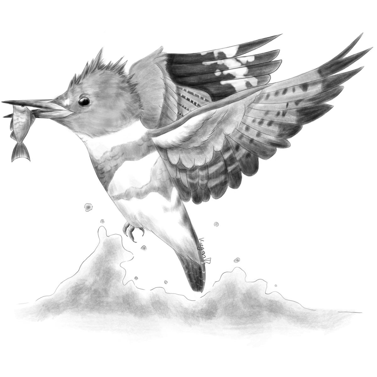 some sunday #birdart for ya! fun fact: digital graphite is a LOT less messy than the real deal! no surprise that it's another Belted Kingfisher lol https://t.co/RI0qjsyolG