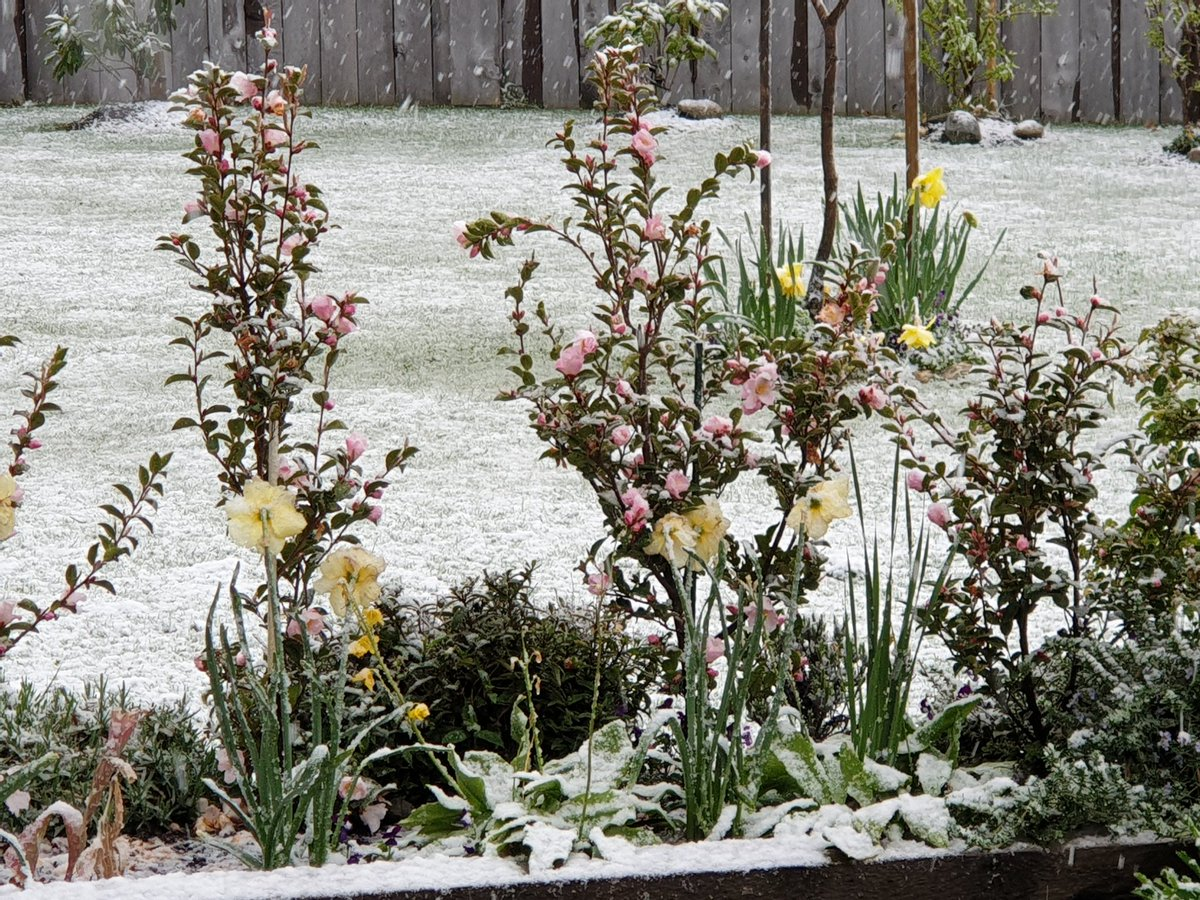 The spring flowers are not happy with this white stuff. #whitewanaka