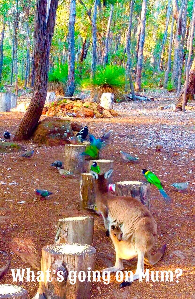 #bird #kangaroo #joey @Jarrahdale #WA #australia #ColinHAbbott @jarrahdale482 @Mundlimup @jarrahdale1 @geeanem @bairdjulia @cher @JeaneneHyles @LaTrioli @CienwenH @JoJomills13 @pholland @SciNate @BetteMidler @leighsales @AbbotColin https://t.co/qzEJEVi9Cq