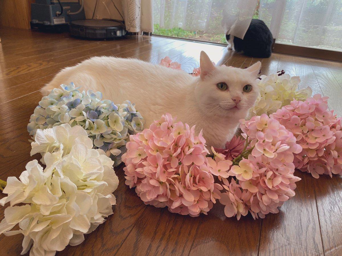 いま造花をいじり回してるのですが ごはん中に広げておいたら、猫が自主的に座りに来てかわいい