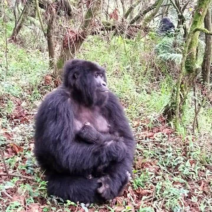 Nyakagezi family of Mgahinga was recently blessed with a baby. The mother is Nshuti, which means a friend. The group number has now increased to 9 individuals. #gorilla #gorillaexplorers #gorillasafari #hikingadventures https://t.co/59PI3QLxNB