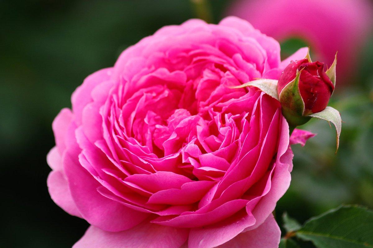 バラが蕾の簪つけてるって思った瞬間…やっぱり綺麗だね。 ・PENTAXk-70 ・170mm ・1/500 ・6.3 ・200 12枚目 #聞いて覚えるカメラ塾9月フォトコン  #聞いて覚えるカメラ塾  #かのやばら園 #薔薇 #ペンタキシアン #ペンタックス #ペンタックス女子 #k70 https://t.co/eEMqwXt8bx