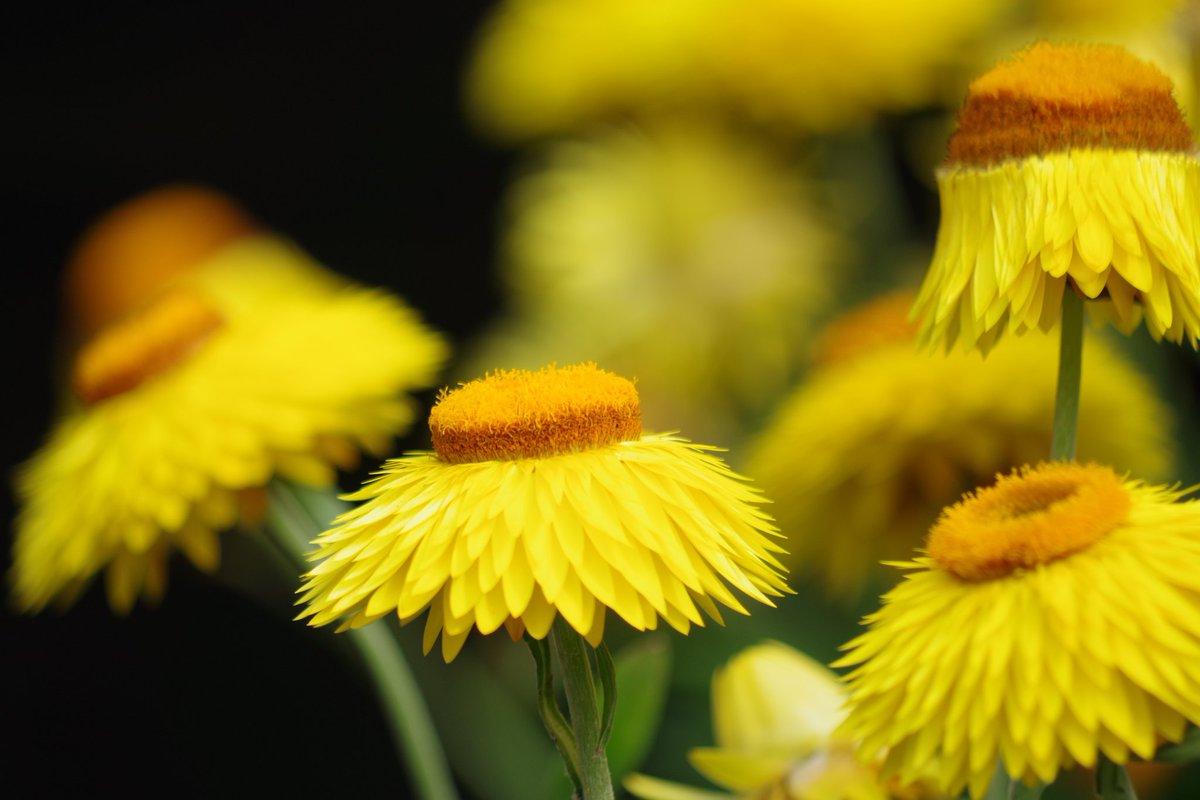 黄色の花に惹かれた。反り返って咲くんだ… 15枚目 ・PENTAX k-70 ・260mm ・1/400 ・5.6 ・200 #聞いて覚えるカメラ塾9月フォトコン #聞いて覚えるカメラ塾 #ペンタキシアン #ペンタックス女子 #k70 #黄色の花 https://t.co/DRdWnMubBJ