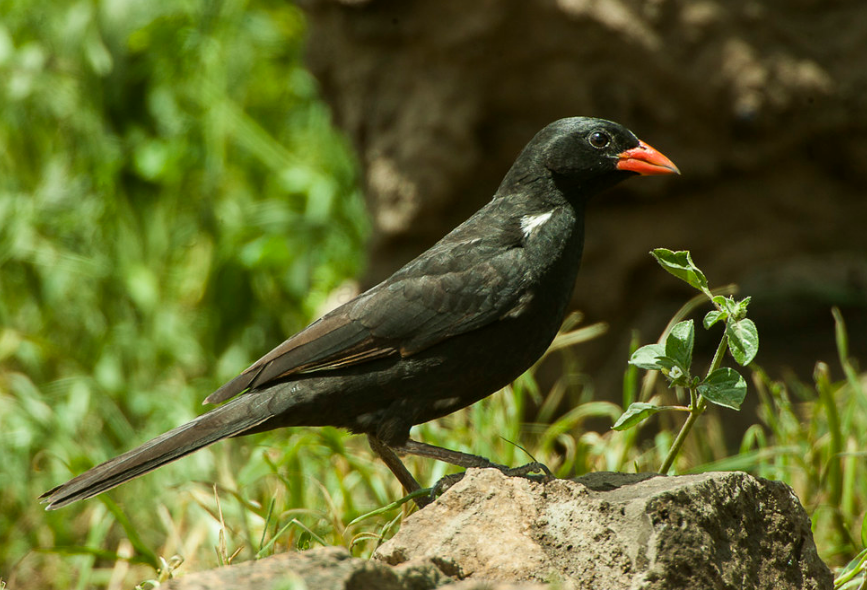 RED-BILLED BUFFALO WEAVER The red-billed buffalo weaver has been observed in small family groups #travelwithus #visituganda #ugandasafaris #birdingsafaris #ssemambosafaris  #ugandanationalpark https://t.co/bqwjhjWUfv https://t.co/vzIX1Fmo6v https://t.co/9zHvLlOq3j