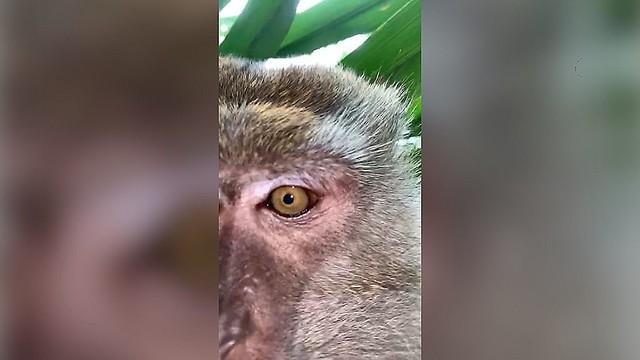 【ぱしゃり】盗んだスマホでサルが自撮り?マレーシアマレーシア在住の男性が紛失したスマホを発見したところ、カメラロールにサルが自撮りしたと思われる動画と写真が残っていたという。