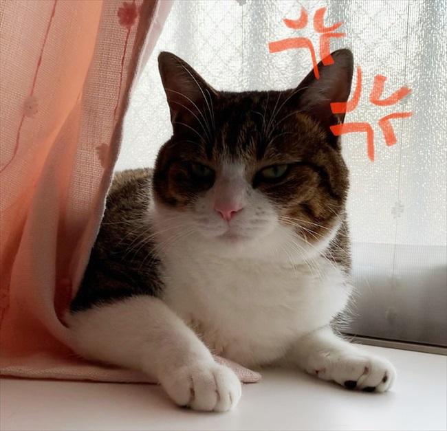 「怒ったニャ」キジ白猫のすずめちゃんがきょうだいゲンカ 弟分が激おこな表情になってしまう