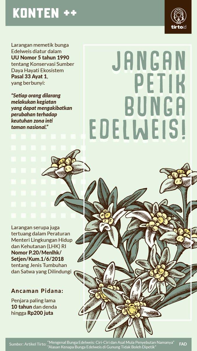 Edelweis terkenal dengan keindahannya dan tidak mudah layu, sehingga edelweis dijuluki sebagai bunga abadi.  Namun, para pendaki kerap memetik Edelweis dan menjadikannya sebagai buah tangan, dan hal ini justru membuat bunga Edelweis terancam punah.  https://t.co/pCL8gntisU https://t.co/BCvyxyTeYY