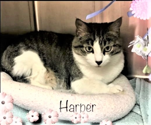 "🙏🏽PLZ KEEP SHARING 💛SWEET 1.6YO #TABBY & WHITE KITTY ""HARPER""💛 💔😿IN SHELTER SINCE 7/18/20 🔊STILL NEEDS #ADOPTION OR #RESCUE🚁 🔶ID 623706 Cage 651 https://t.co/u3Z5pOIKYZ 🙏🏾#ADOPT #PLEDGE #SAVEALIFE #AdoptDontShop #MARIETTA #GA @cobbkitties #CAT #AdoptMe #CatsofTwitter https://t.co/EqlcA5eS4K"