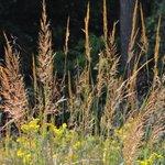 Image for the Tweet beginning: Southeastern stiff goldenrod (Solidago rigida