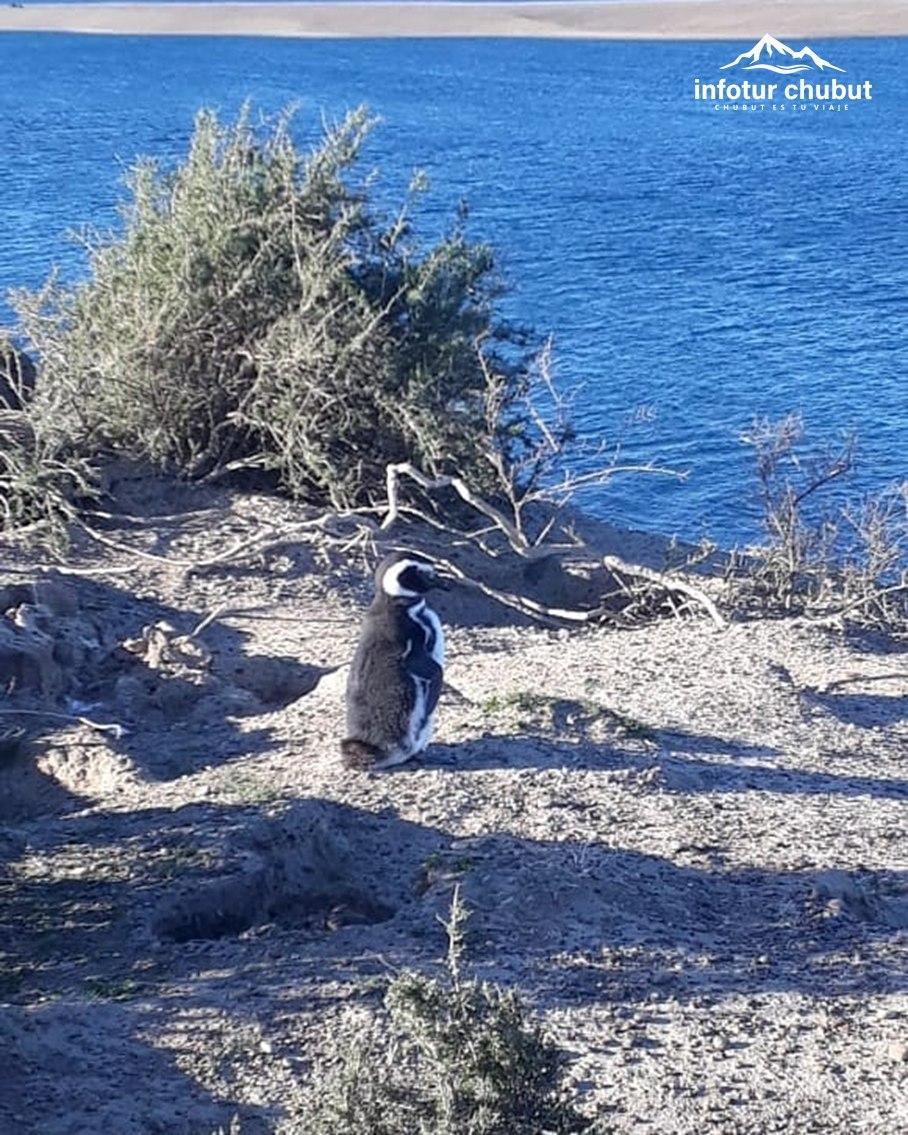 😍🐧Ya comenzaron a arribar los primeros #pingüinos de magallanes al Área #PenínsulaValdés  👉🏻📆La llegada de las éstos se produce en septiembre, para preparar los nidos y realizar el apareamiento.  👏🏻📸 Natalia Ledesma compartió la llegada del primer pingüino a #PuntaCantor https://t.co/teKpp7ekFa