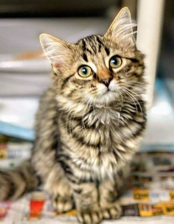 """Darling Maine coon juvie girl kitten """"Pansy"""" in #Concord NC at the Cabarrus Animal Shelter is a sweet doll but has a URI & not eating! Let's get her out of there! Adopt! Pledge for rescue! VERY URGENT! https://t.co/8GxAarPKLy https://t.co/wY1CJGZnlX"""