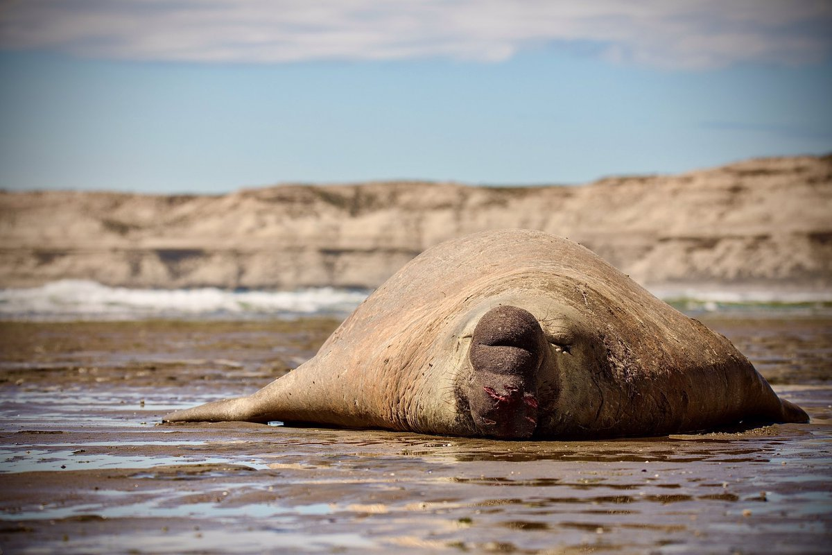 Elephant seal @ Península Valdes - Patagonia Argentina #Patagonia #Argentina #peninsulavaldes #chubut #madryn #PuertoMadryn #elephantseal #seal #elefantemarino #wildlife #nature https://t.co/HDMmhEfLIQ