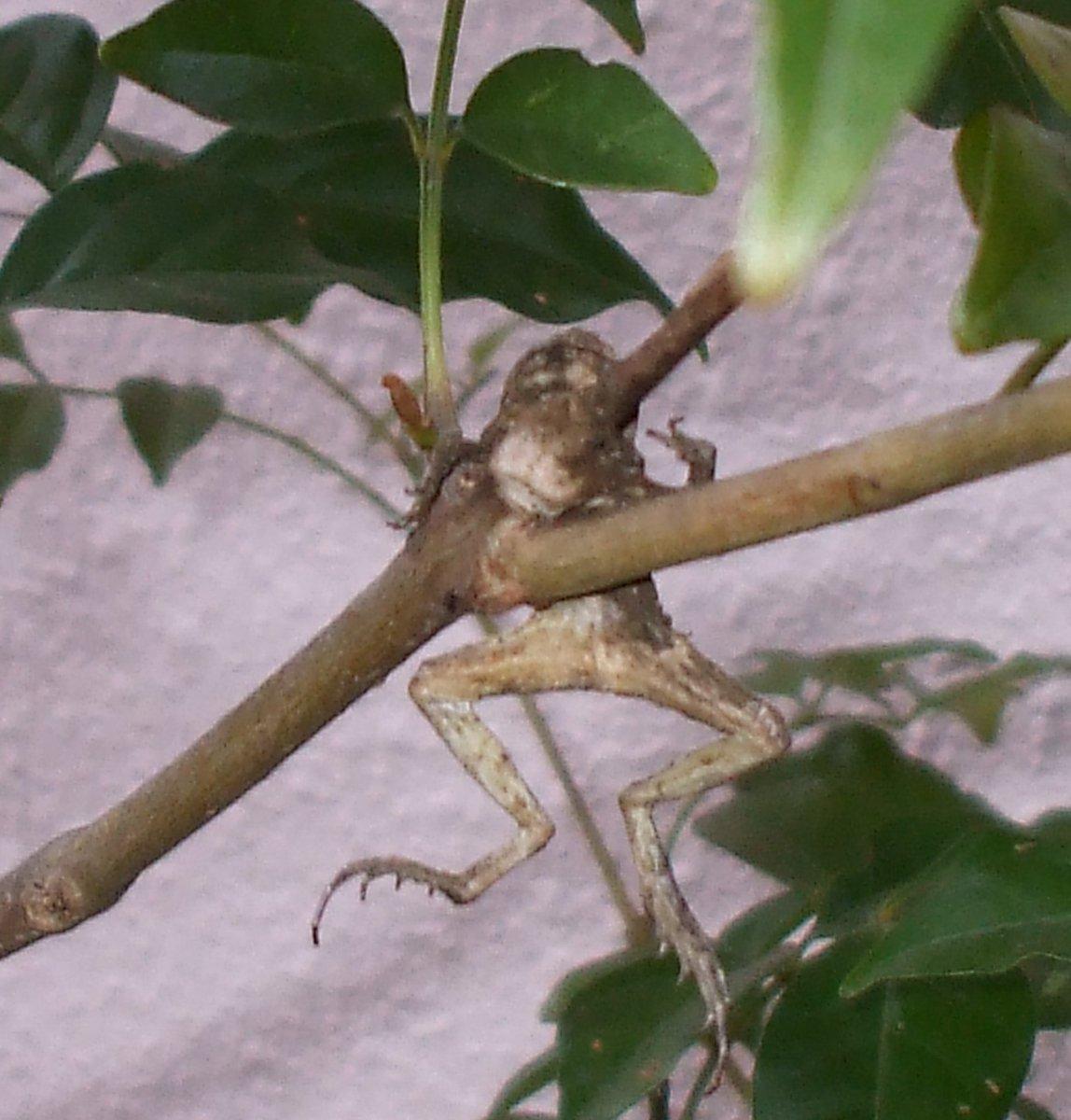 やっと京都も涼しくなってきた。妻の遺品を整理していたら、奇怪な写真が出てきた。干上がったカエルが一匹わが家の庭木にぶら下がっている。これを「モズのはやにえ」というそうだが、こんな珍しい自然の不思議が近場にあったとは意外や意外。彼女は何を思ってシャッターを切ったか知る由もないが…。