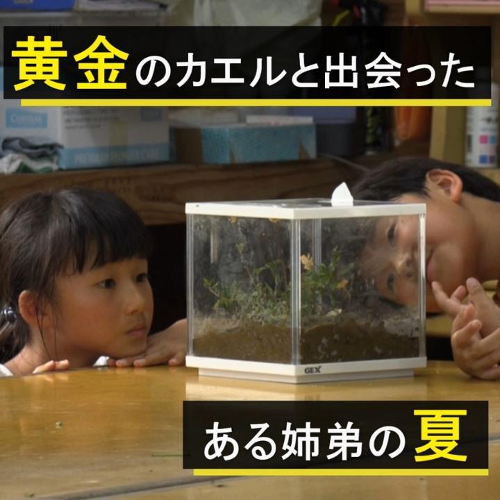 「黄金のカエル」5匹を田んぼで発見!?福岡市郊外に住む小学生のきょうだいが大切に育ててきました。新型コロナの影響で短かった夏休みですが、黄金のカエルとの出会いが二人に素敵な思い出をもたらしてくれました。 #NHKモバイル動画