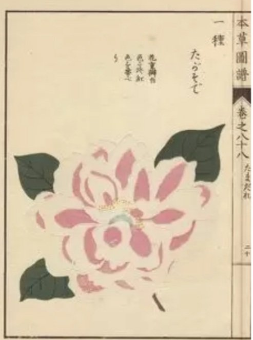 Illustration of a Pink Camellia from the book Honzo Zufu by Iwasaki Tsunemasa. https://t.co/7a58SRS0N5