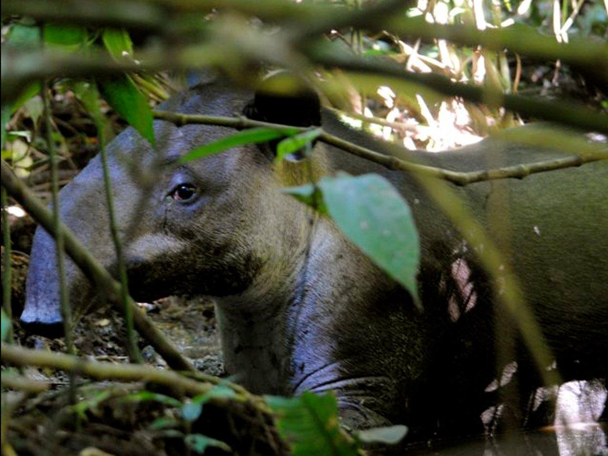 Actuando local, pensando global. #greennature #nature #naturephotography #naturaleza #naturephotography #naturaleza #naturelovers #naturephotos #photography #fotografia #landscape  #landscapephotography #photographer #naturegreen #picoftheday #naturalprotection #tapirs #tapir https://t.co/jYZTs3lUfv